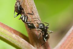 Two black ants Stock Photos