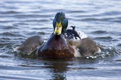 colorful mallard swimming - stock photo