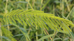 Stock Video Footage of leaf of acacia plant movement