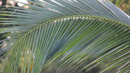 Stock Video Footage of leaf of coconut tree movement