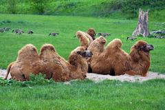 two  dromedaries or camels - stock photo