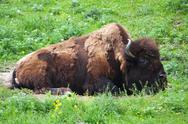 Stock Photo of bison grazing