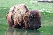 Stock Photo of bison wading