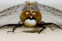 Common darter dragonfly resting Stock Photos