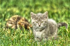 kitten playing in the grass in high dynamic range - stock photo