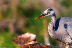 Great blue heron fishing in high dynamic range Stock Photos