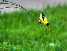 goldfinch on a stem in high dynamic range - stock photo