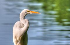 great egret in high dynamic range - stock photo
