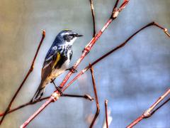 yellow-rumped warbler in high dynamic range - stock photo