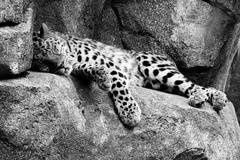 amur leopard resting in hdr and black and white - stock photo