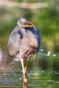 great blue heron fishing in hdr - stock photo