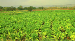 Tobacco Stock Footage
