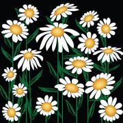 Chrysanthemum leucanthemum - stock illustration