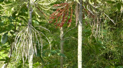 Carpentaria Palm with ripe seeds hanging on trunk. (TREES--4b) Stock Footage