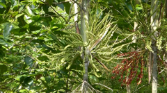 Carpentaria Palm with ripe seeds hanging on trunk. (TREES--5b) Stock Footage