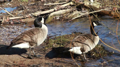 0667 Gooses going into River - stock footage