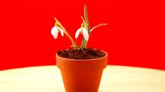 Snowdrop in flower pot Stock Footage