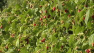 Stock Video Footage of Organic raspberry with fruit
