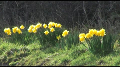 First Sign of Spring as Daffodils Bloom Stock Footage