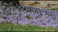 Crocus Tommasianus Stock Footage