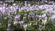 Stock Video Footage of Crocus Tommasianus