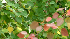 Red aspen leaves in autumn. Stock Footage