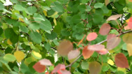 Stock Video Footage of Red aspen leaves in autumn.