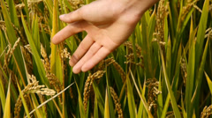 Hand brushing over the heads of asian golden rice paddy,check the rice is plump Stock Footage