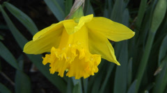 Close up Daffodils in flower bed-02 Stock Footage