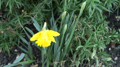 Mid shot Daffodils in flower bed-01 - stock footage