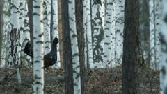 Great grouse Stock Footage