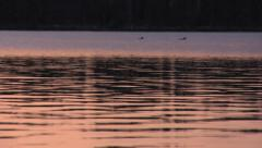 Loons On Evening Lake Stock Footage