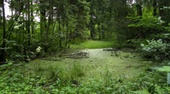 The ancient forest with swamp in the wild, static - stock footage