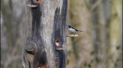 2 Long Tailed Tit Stock Footage