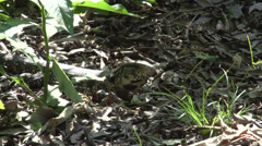 071 Iguana on the ground, Argentina Stock Footage