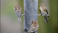 Stock Video Footage of 3 Lesser Redpoll