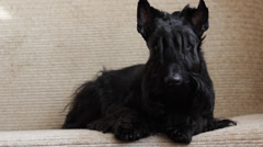 Scottish Terrier on couch Stock Footage