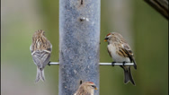 Stock Video Footage of 2 Lesser Redpoll