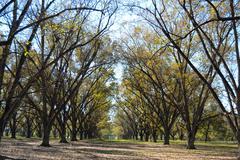 Landscape pecan grove with sky Stock Photos