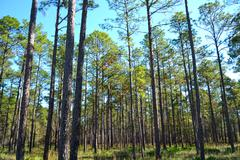 landscape planted pines on forestry land - stock photo