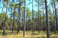 landscape planted pines on forestry land 3 - stock photo