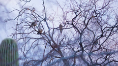 Tight shot Pigeons resting in a tree at dusk time lapse Stock Footage