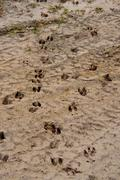 white-tail deer tracks in sand - stock photo