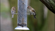 Stock Video Footage of Lesser Redpoll