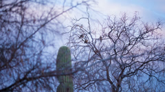 4K UHD NTSC Pigeons resting in a tree at dusk time lapse Stock Footage