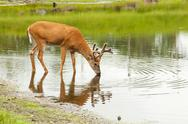 Deer drinks from lake Stock Photos