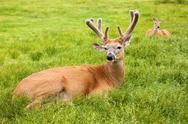 Male and female deer laying in grass Stock Photos