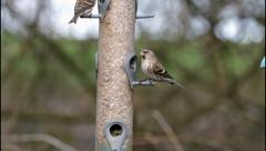 Lesser Redpoll and Great Tit Stock Footage