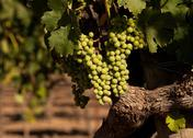 Grapes in a wine vineyard Stock Photos
