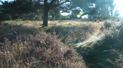 Heathland in Sunshine Cannock Chase Stock Footage